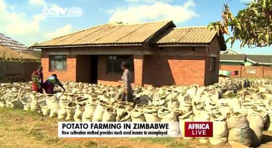Culture de pommes de terre dans des sacs au Zimbabwe