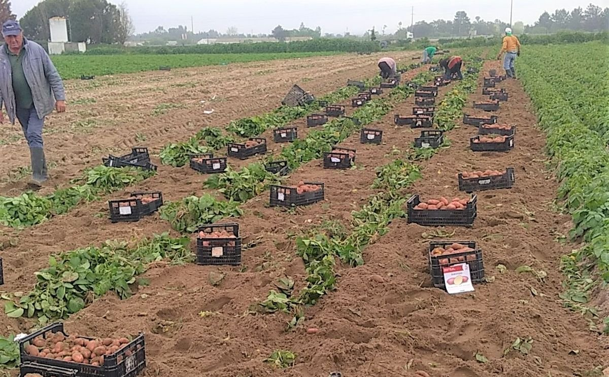 The harvest of new potato in Portugal started two weeks earlier
