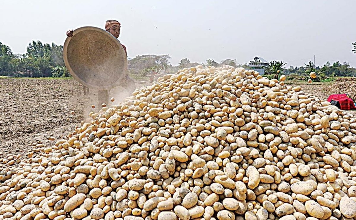 Potato Farmers Bangladesh suffer as a result of the huge surplus this year