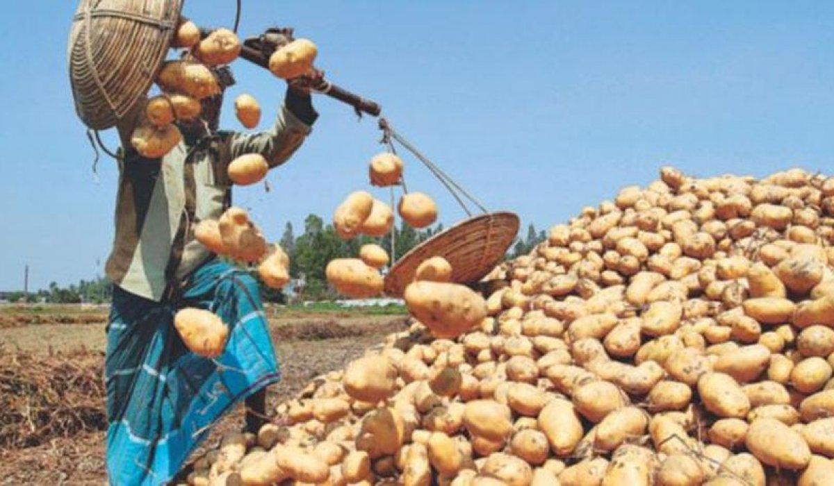 Bangladesh expects huge potato surplus due to increased supply and sluggish demand