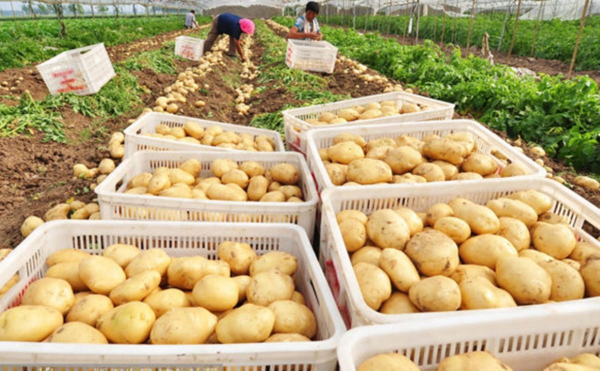The market price of potatoes in Gansu, China recently showed a rising trend. (Courtesy: Global Potato News)