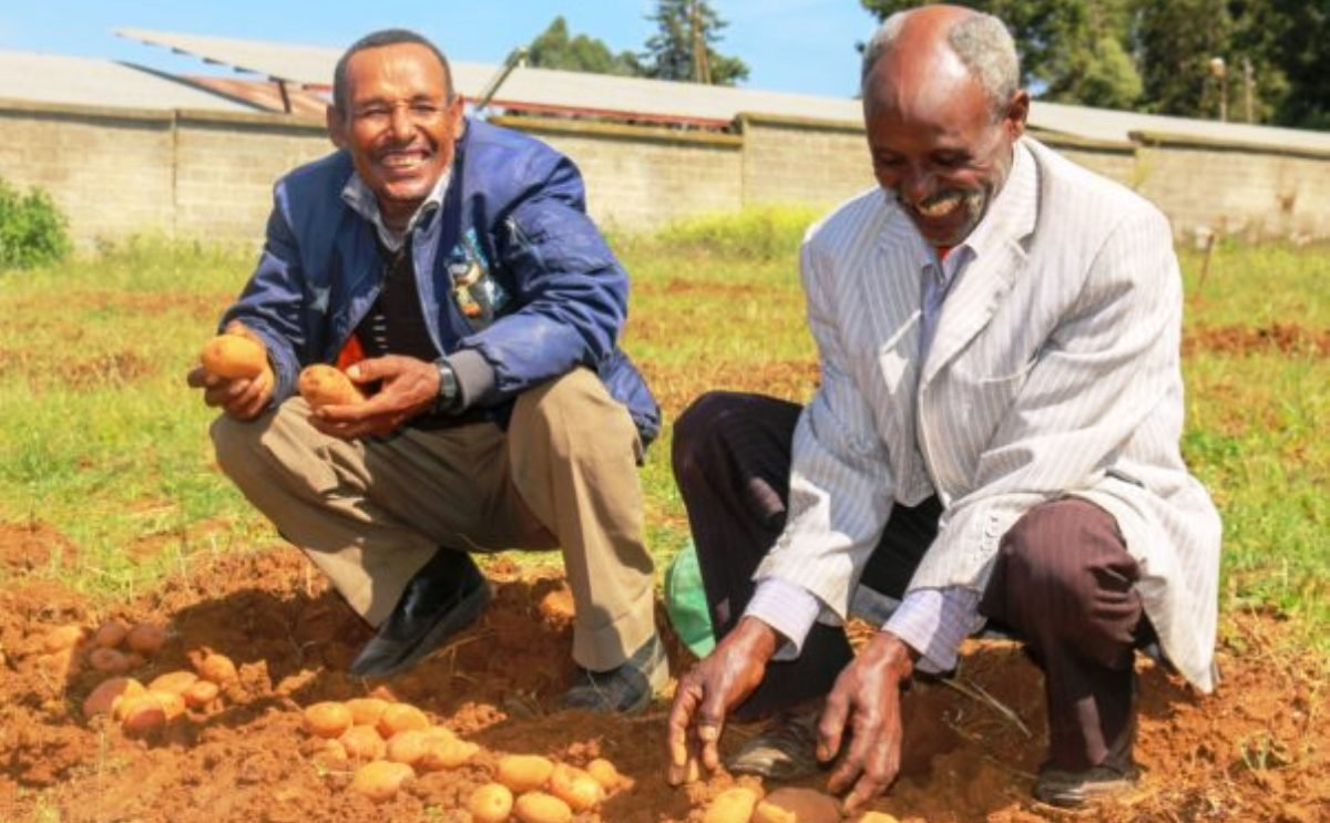 Ethiopian farmers help researchers select potato varieties that the market demands (Courtesy: CIP)