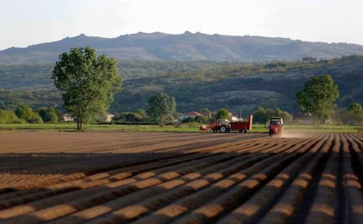 España: Productores de patata de A Limia estudian plantar menos cantidad este año