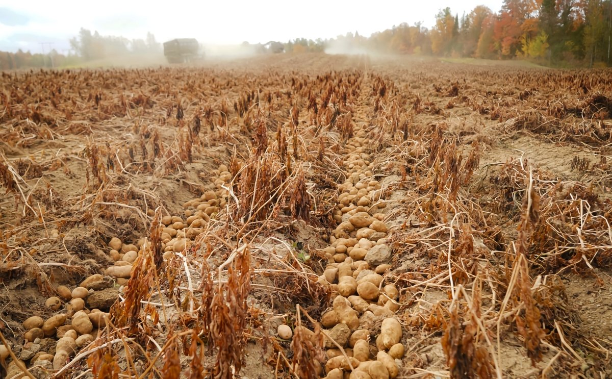Maine, US: Drought shrinks Aroostook County potato yields