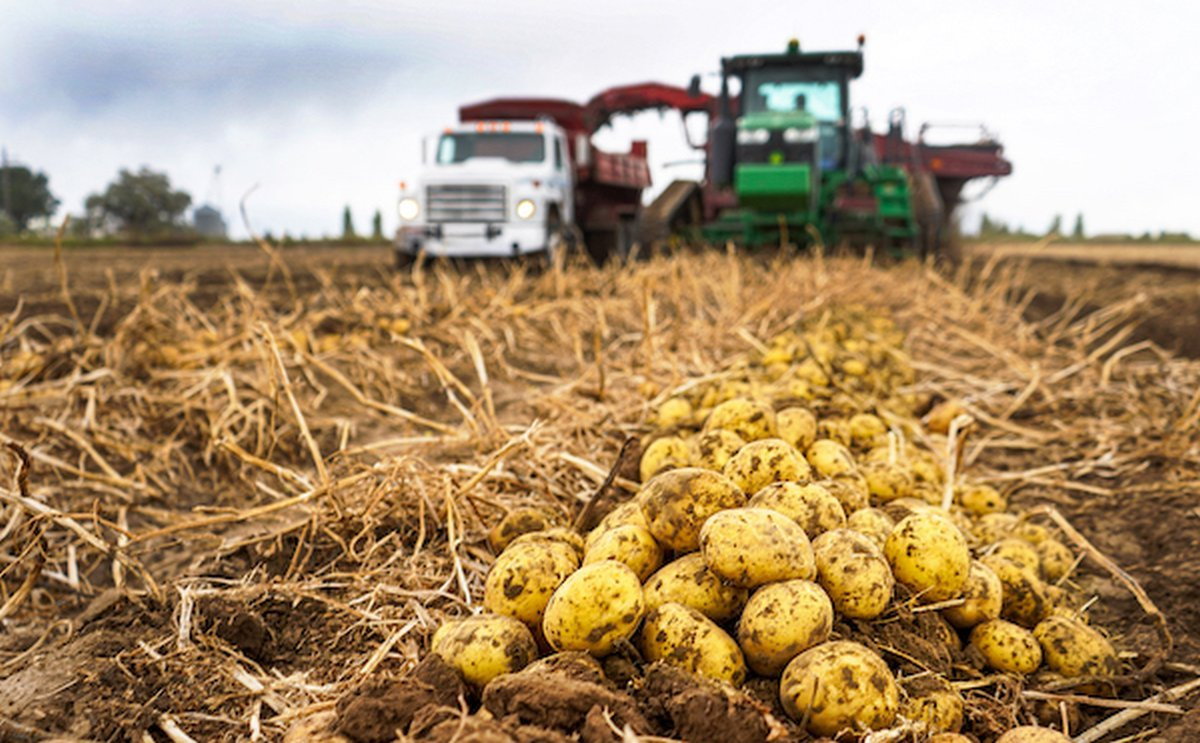 Ample supplies of medium and small size potatoes on the market in Idaho