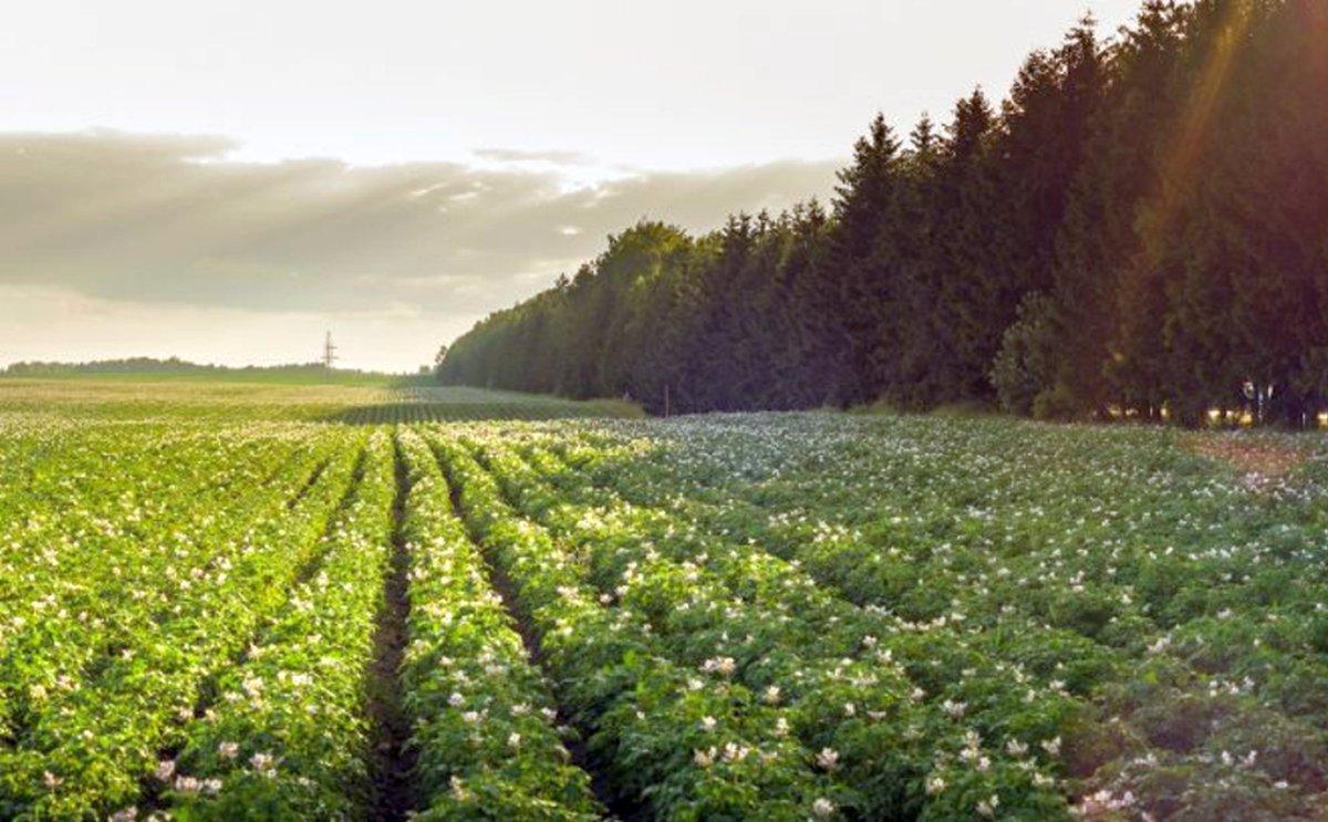 NEPG: Slight rise in European potato acreage, uncertain outlook for markets