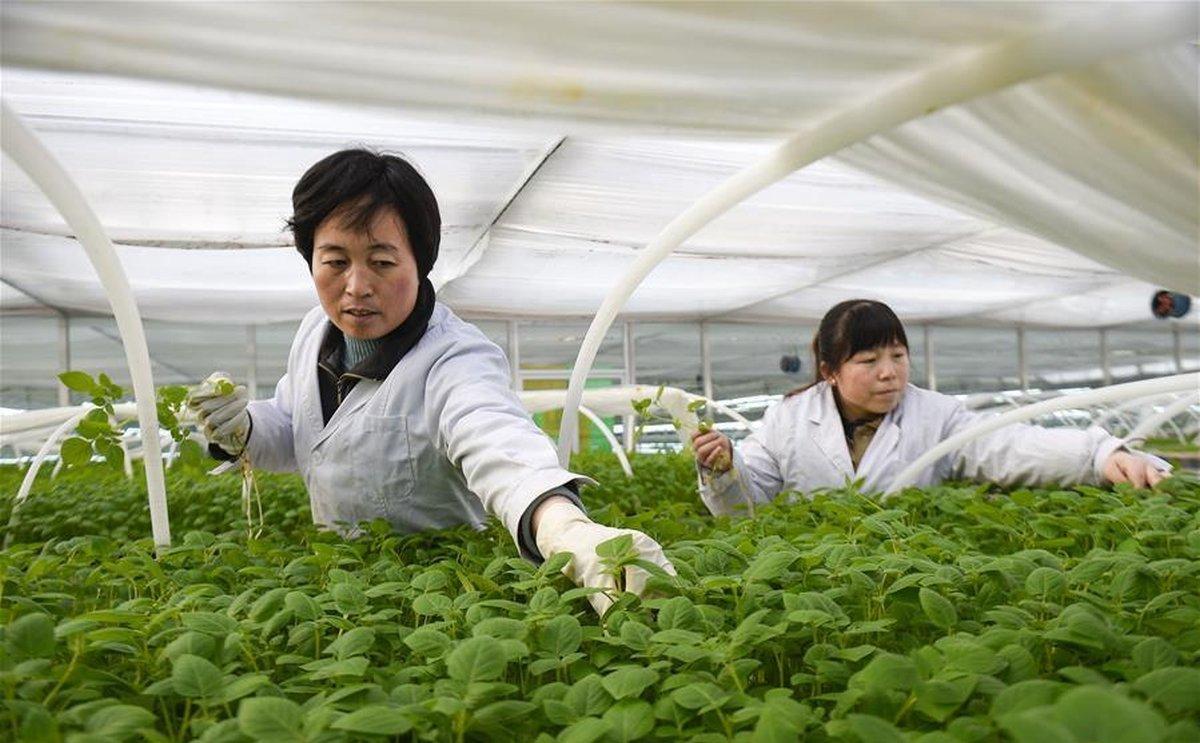 Across China: Hi-tech Potato Industry Boosts Poverty Alleviation