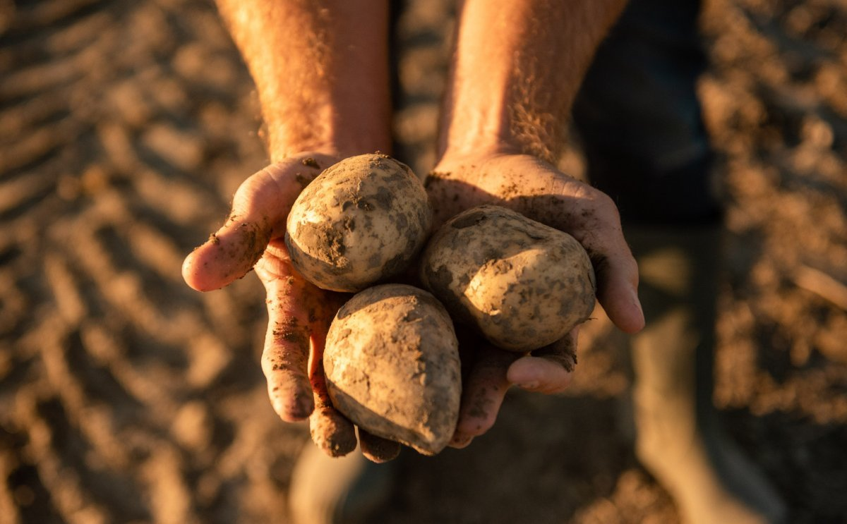 HZPC: Great supply of certificates offers opportunities for seed potato growers