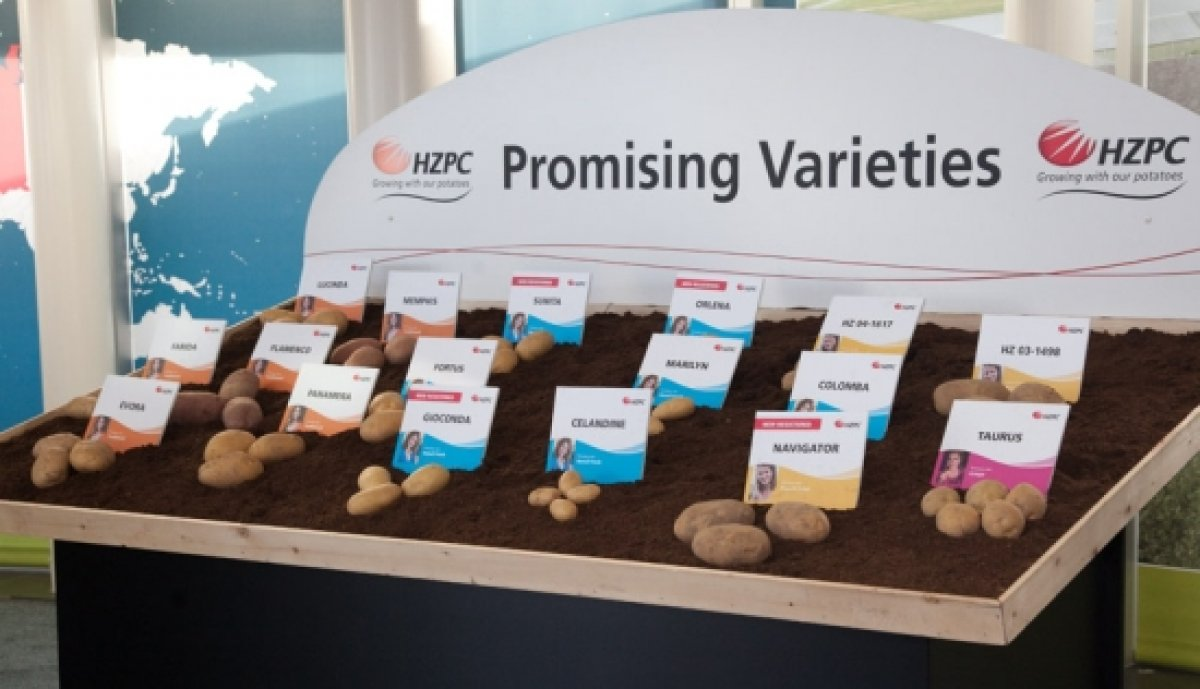 hzpc promising potato varieties 0