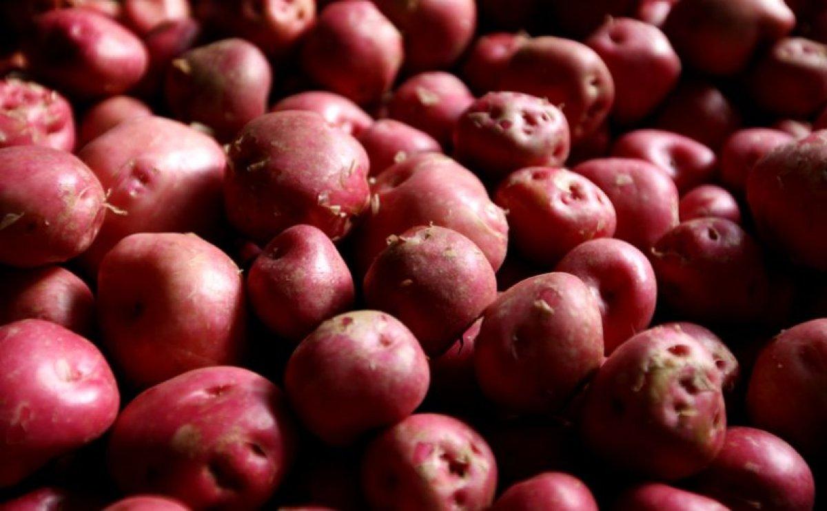 Potato Harvest in Iceland has Never Been Better