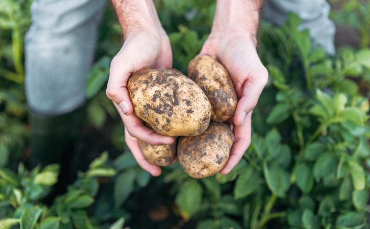 Brexit reality dawns for Irish potato growers
