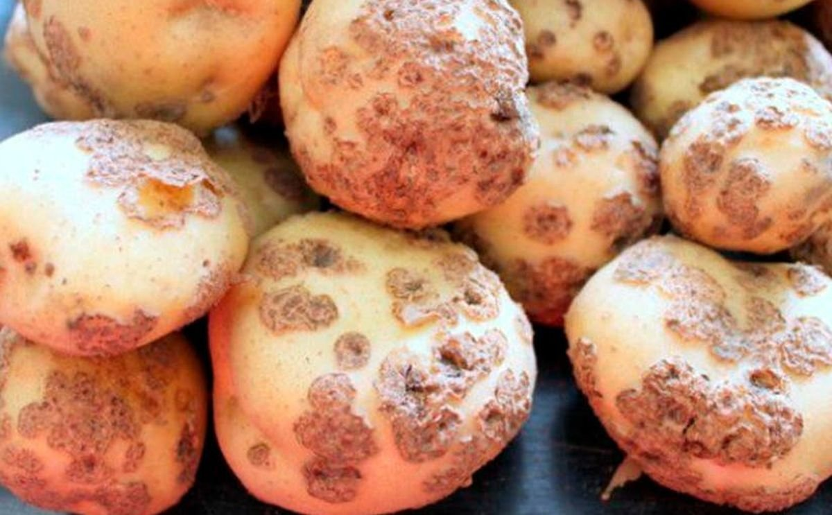 World Potato Congress Webinar: Dr. Leah Tsror on Powdery Scab - Integrated Disease Management for Reducing the Risk