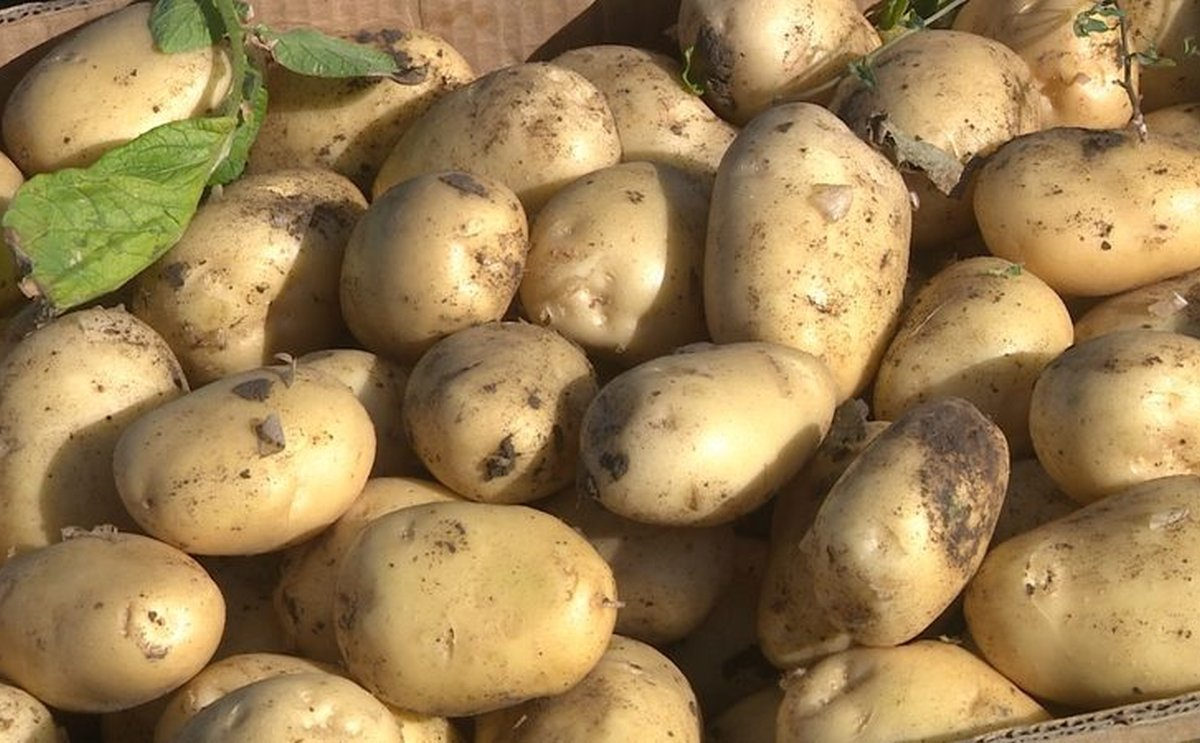 Azerbaijan increased production and export of potatoes