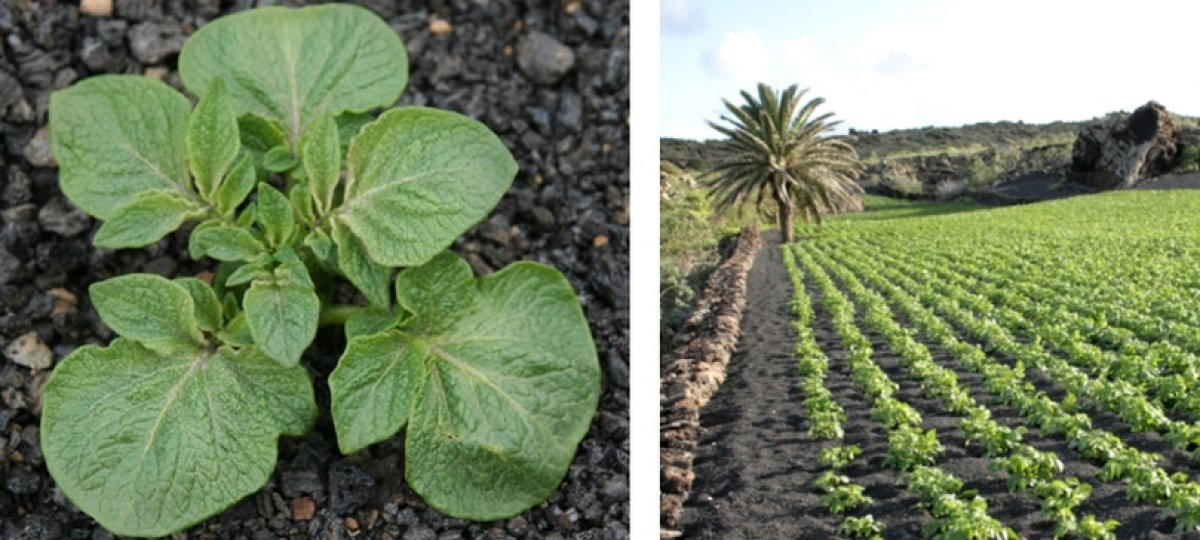 Lack of Rainfall on the Canary Islands to affect potato cultivation