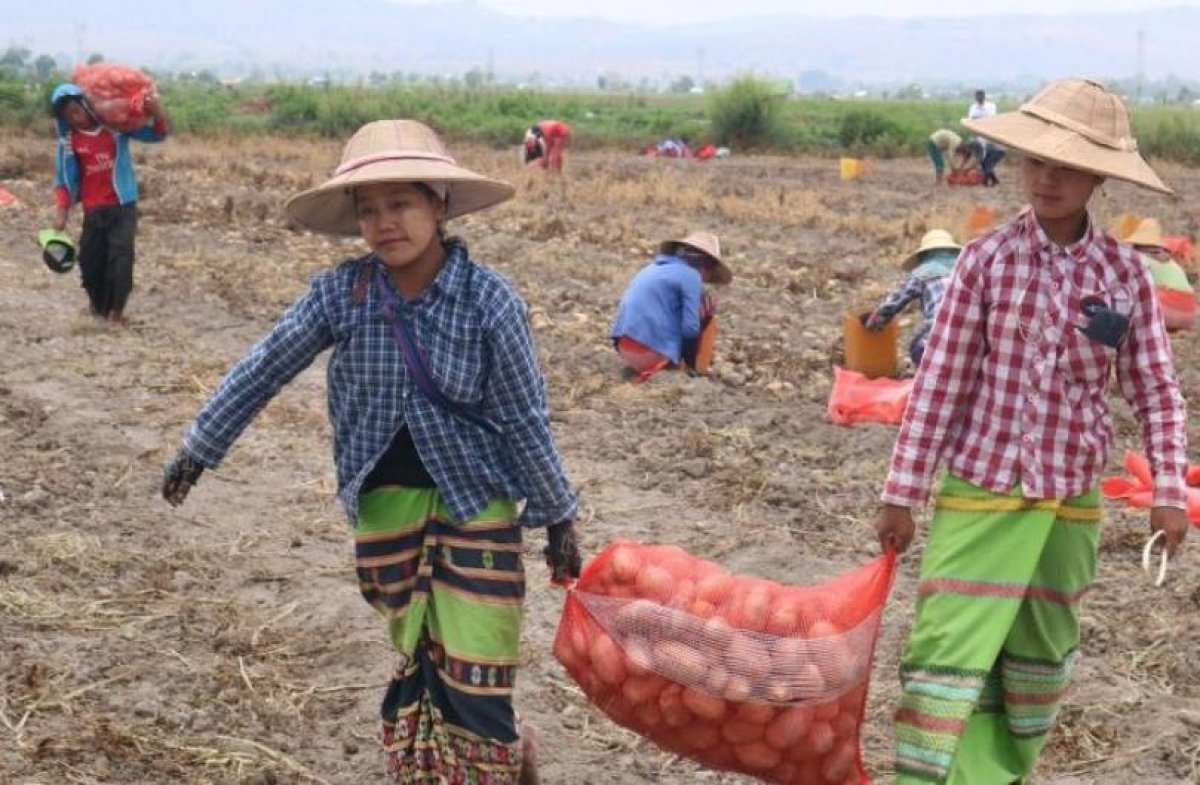 Dutch agronomists help farmers in Myanmar boost their potato yield