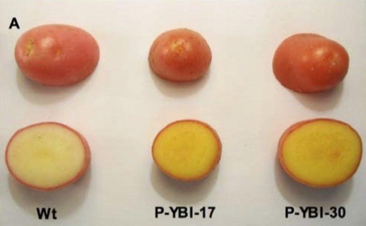 Experimental potato delivers bounty of vitamin A and E