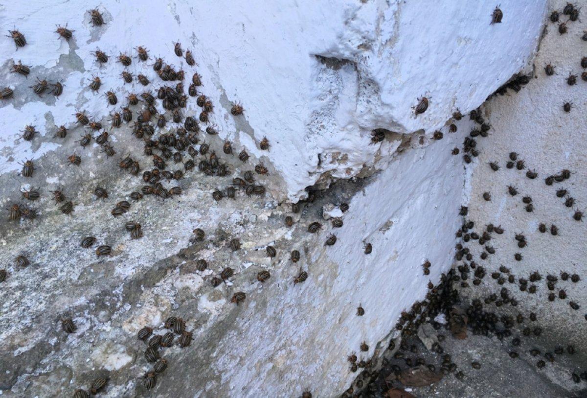 Potato Beetles invade Austrian village