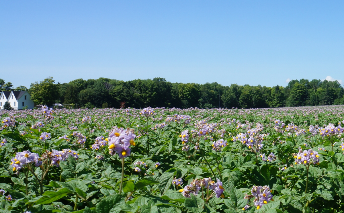New potato protection products available in Canada for 2016