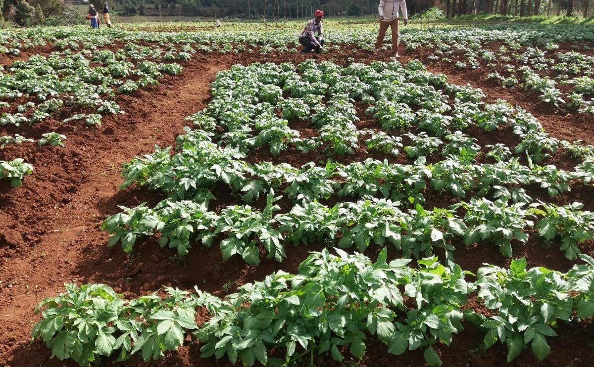 Scottish seed potato exporters set to increase tonnage to Brazil and Kenya