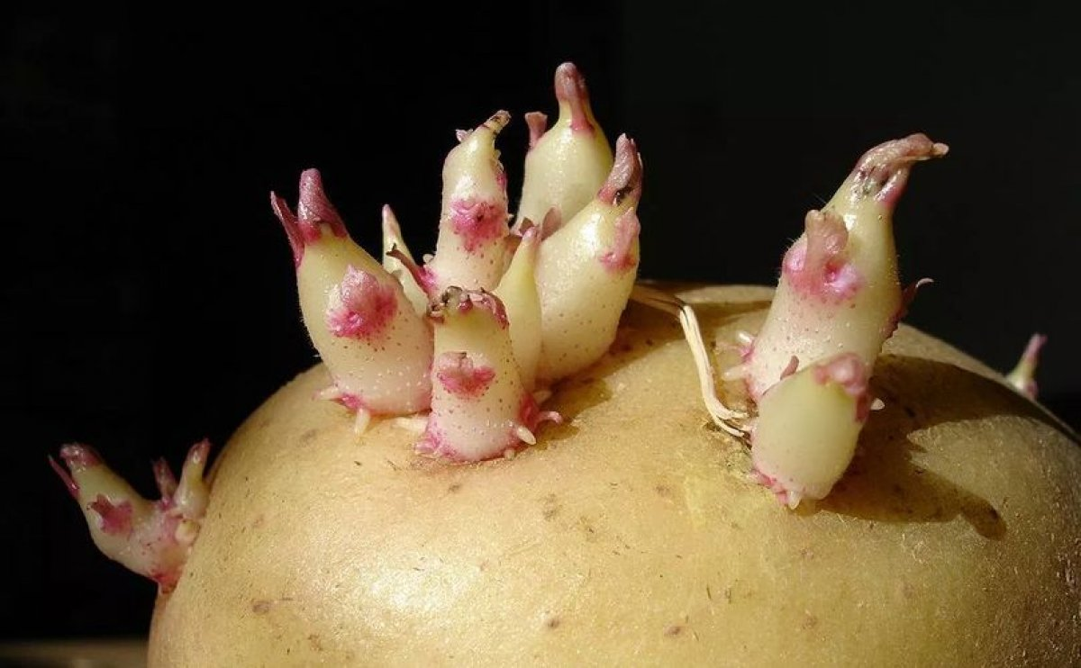 Chinese scientists prevent potato sprouting with hydrophobic nano silicsa