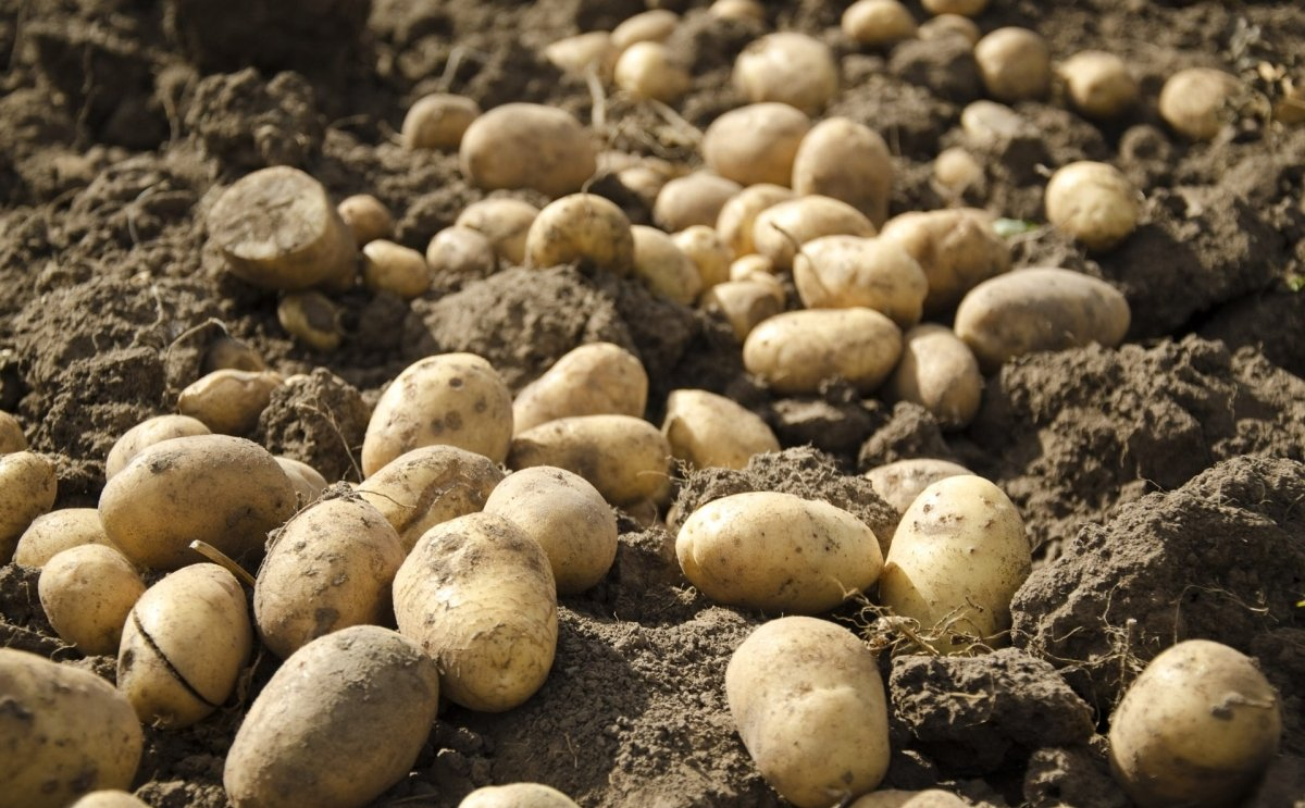 As potato farming in Kurdistan is increasing, lack of storage becomes a problem