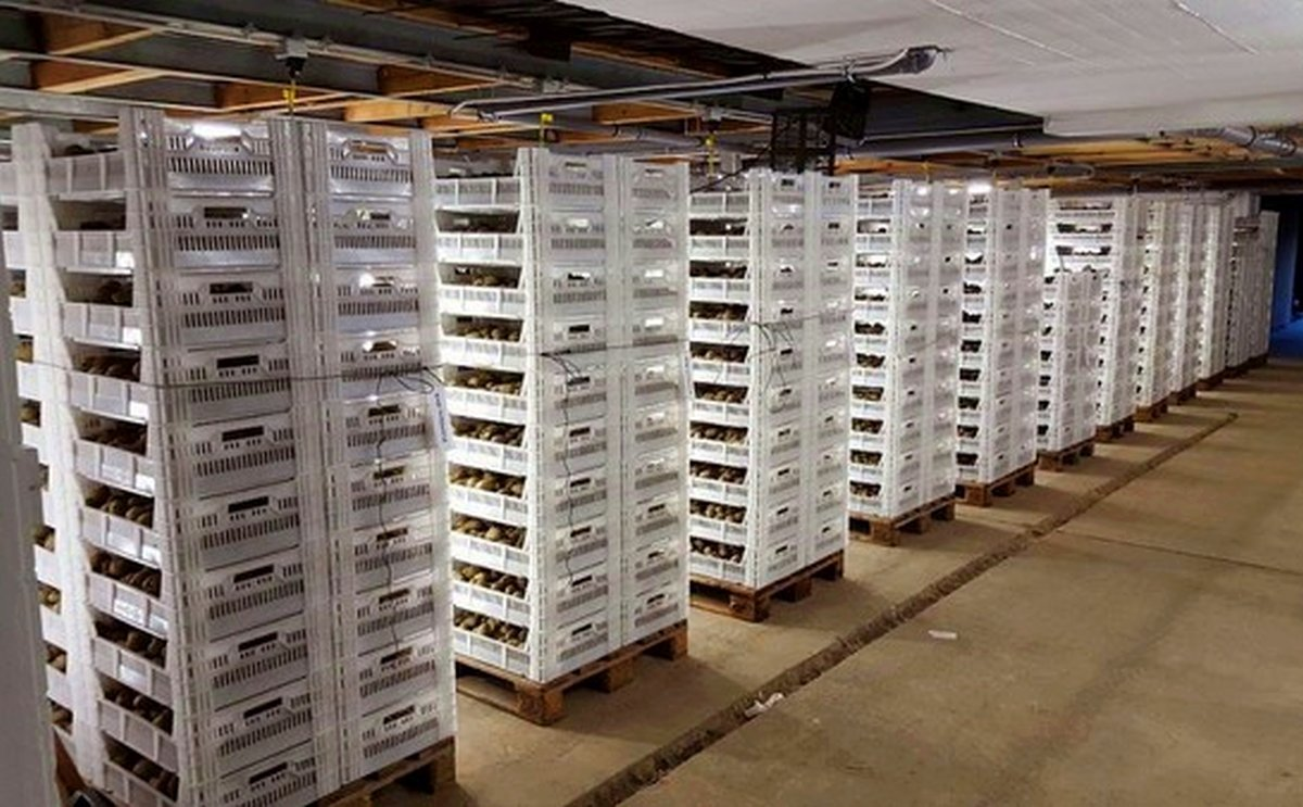 The Pre-Sprouting Crates From Bekuplast in Action: The Anrather Spargelhof in Willich Uses These Boxes.