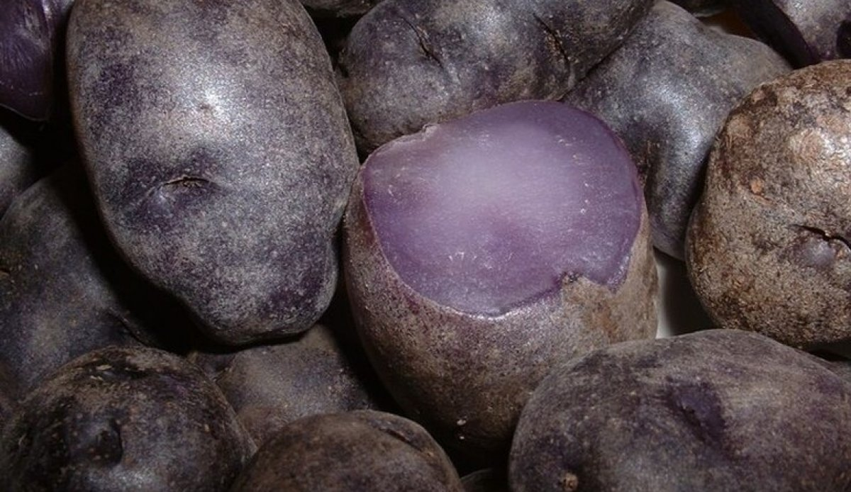 Colorful potatoes may pack powerful cancer prevention punch