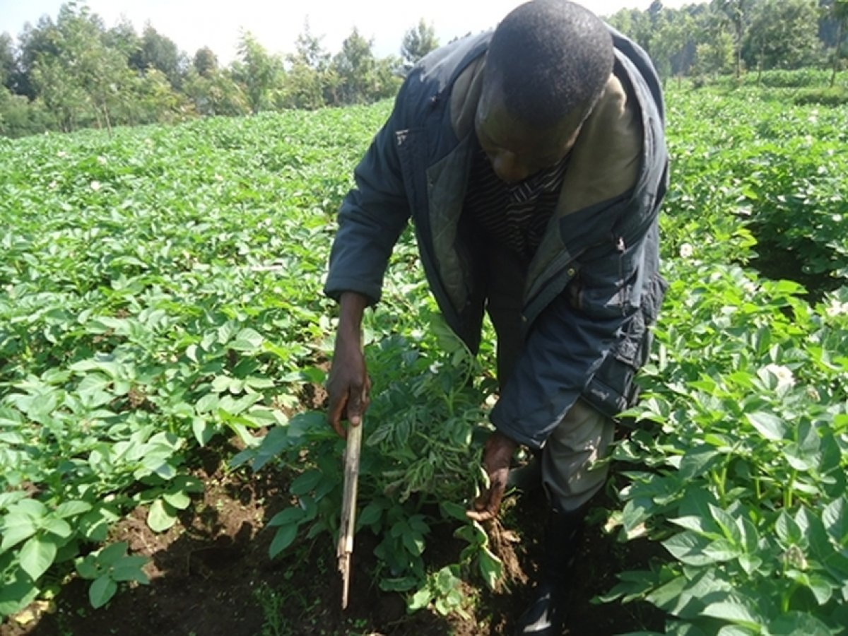 Rwanda demand for quality seed potatoes exceeds supply