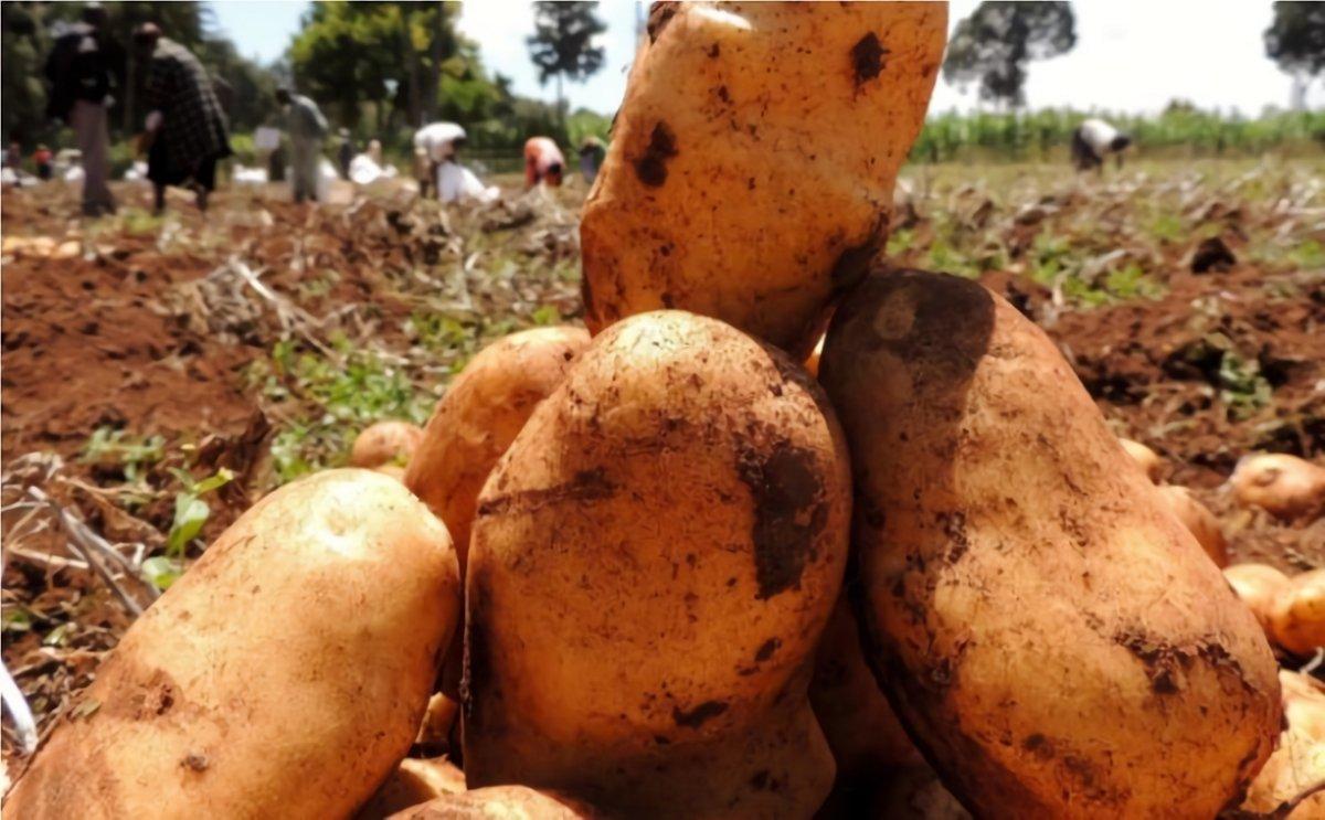 In Rwanda, Kinigi is still the leading potato variety on the market