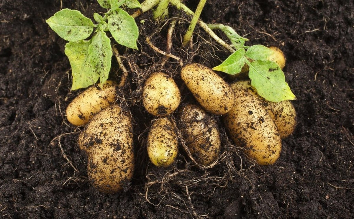 Brexit: Scottish minister pledges to fight for seed potato exporters