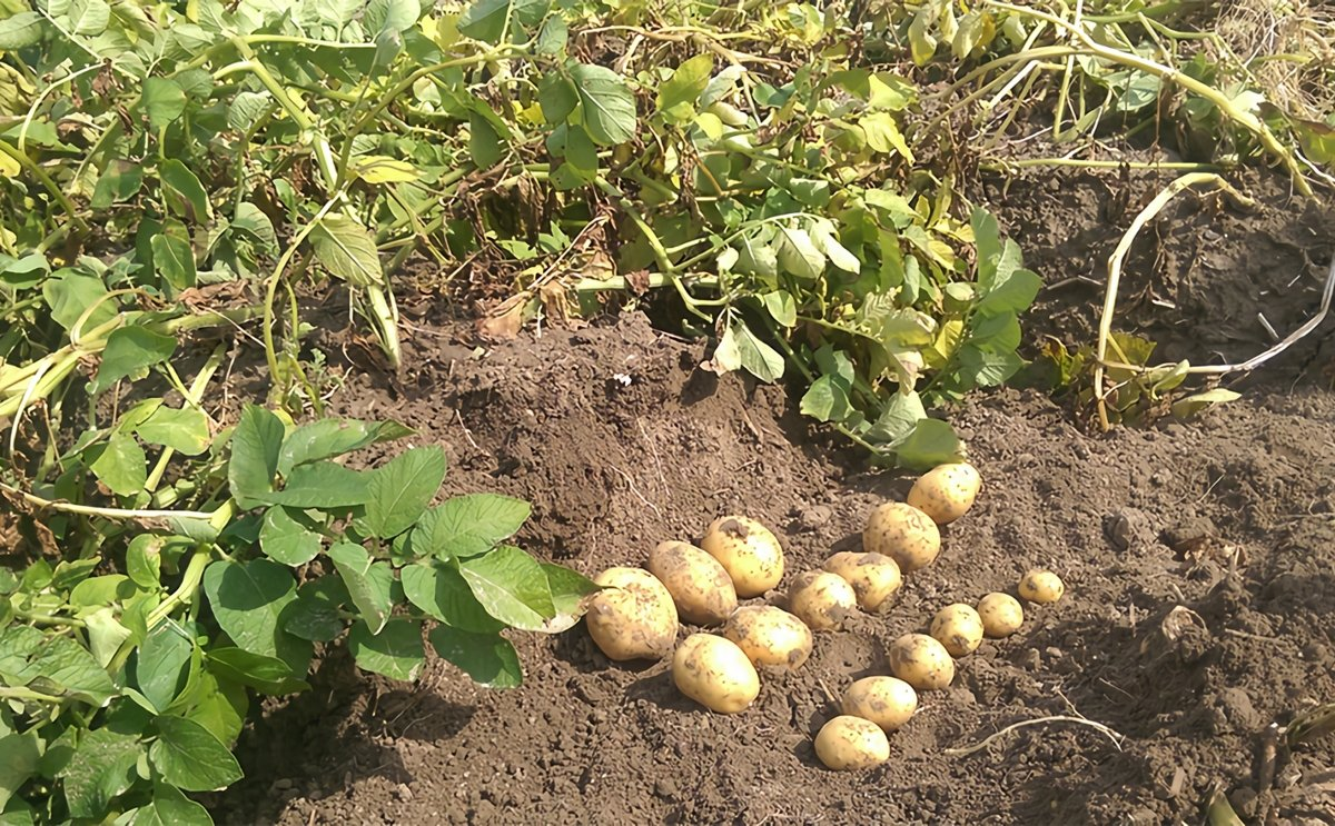 The potato is used to cooler climate and vulnerabe to environmental stresses; particularly to combinations of heat and drought.