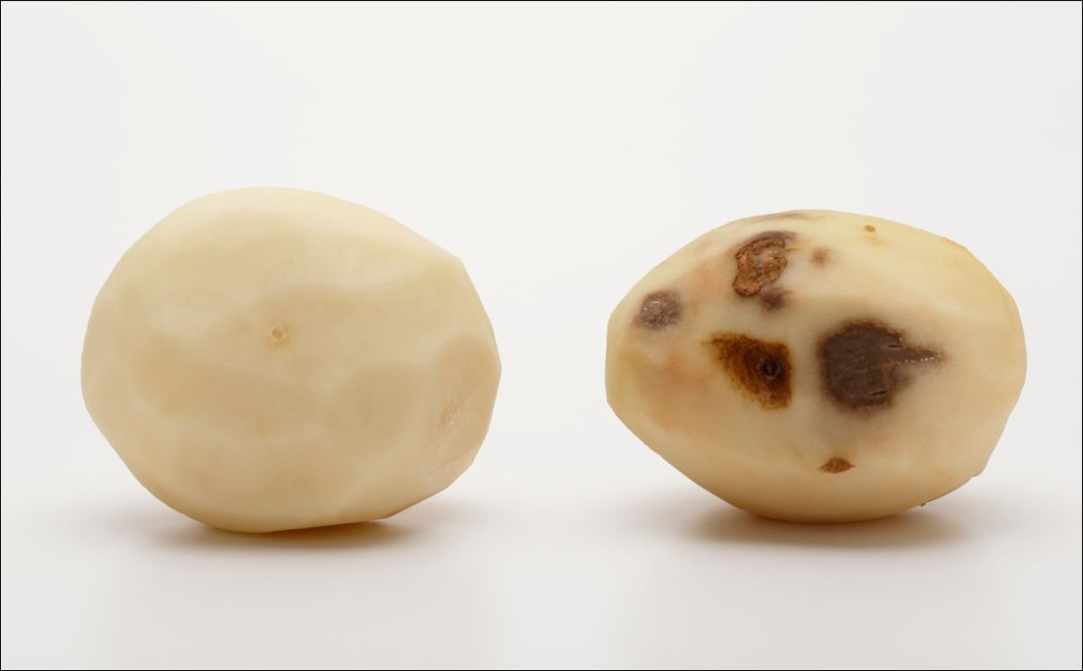 Innate® Second Generation Potato Receives Approval in Canada