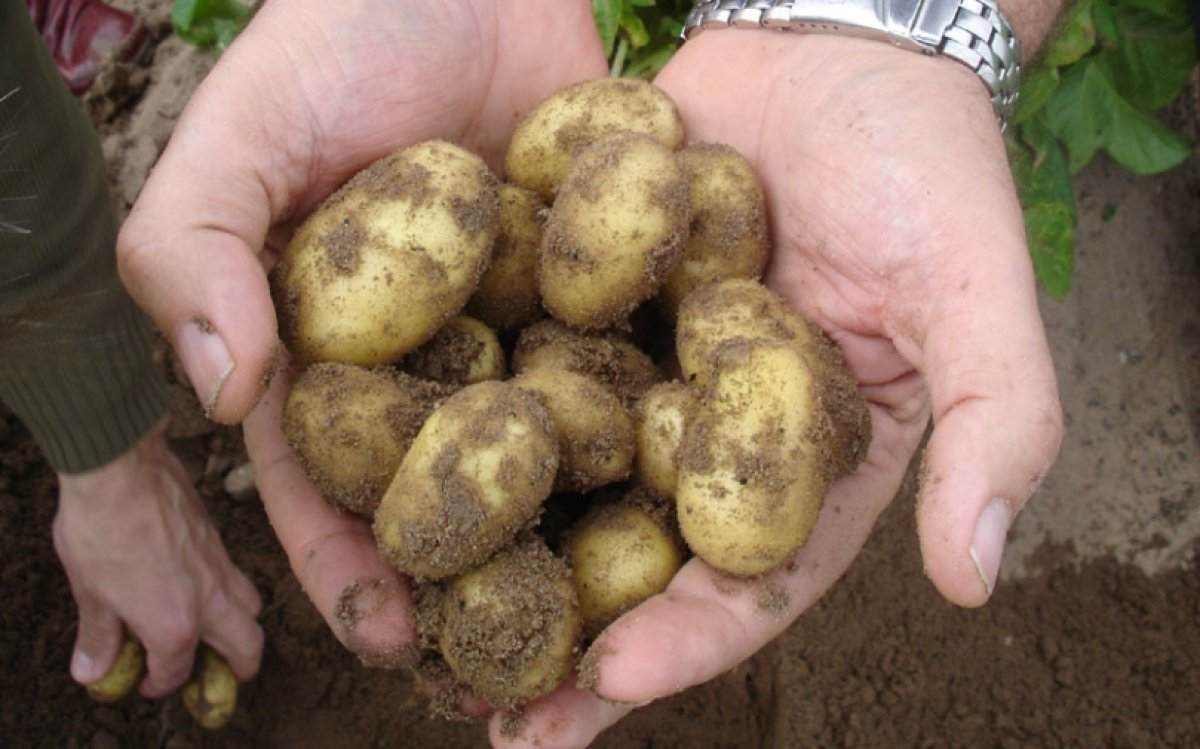 Early Spanish potatoes available more than two weeks ahead of schedule