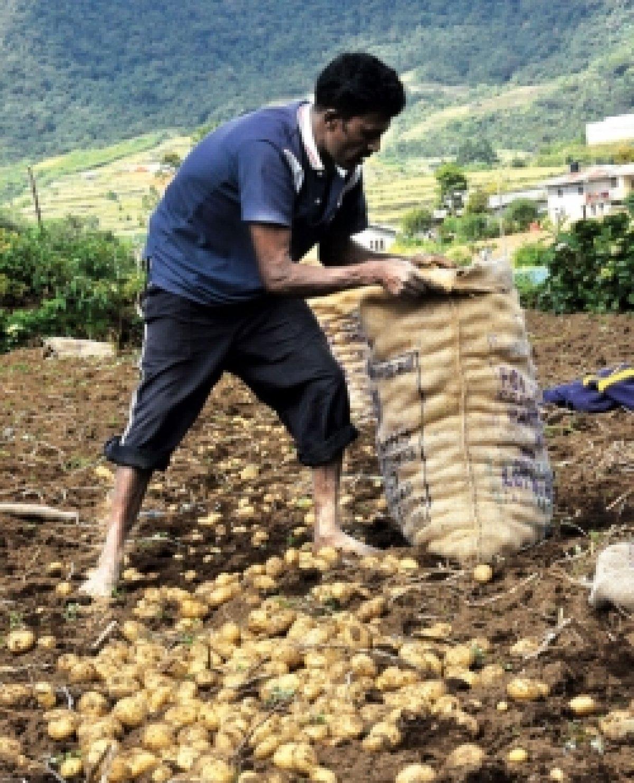A potato farmer in Meepitima, Nuwara Eliya collecting the potato harvest (Susantha Wijegunasekera; Sunday Observer)
