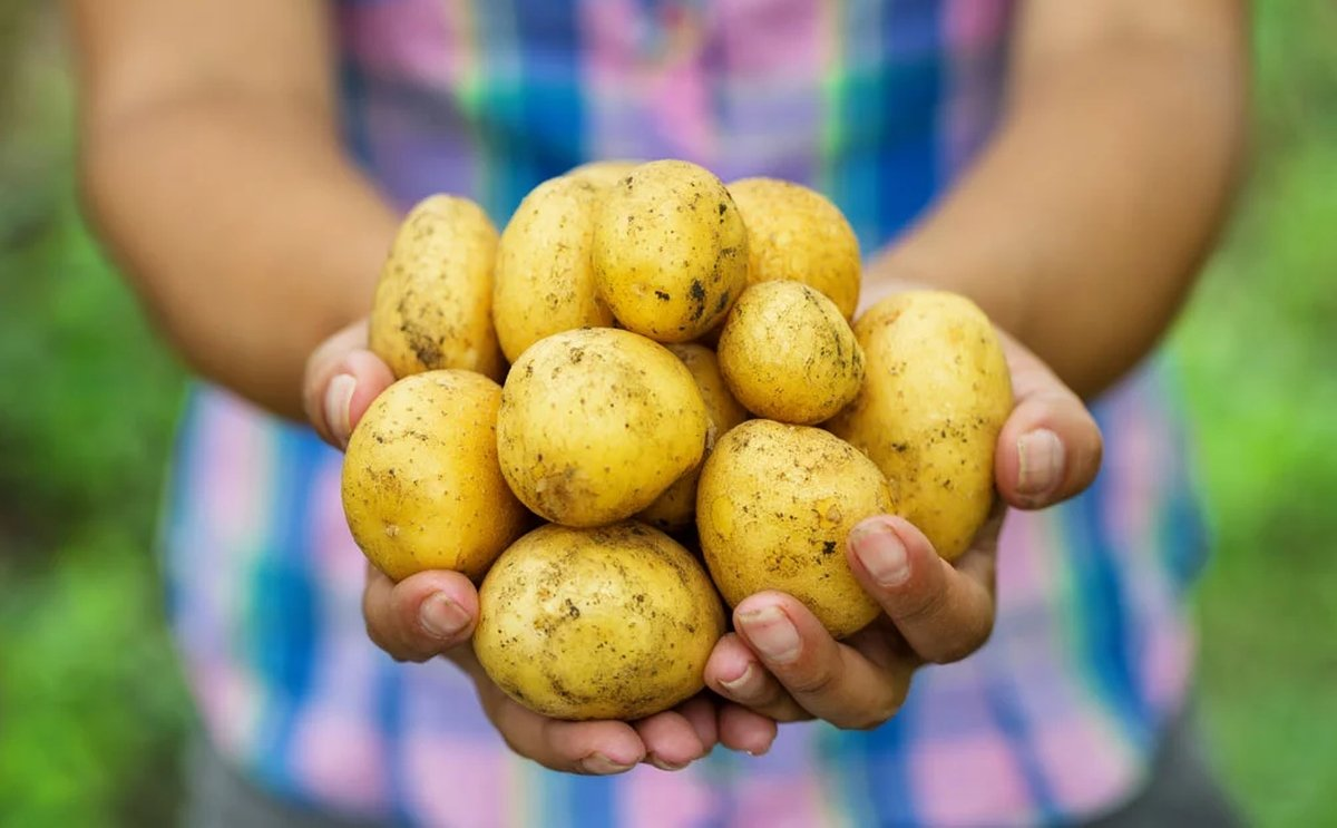 Getting to the Root of Food Safety in the Potato Industry