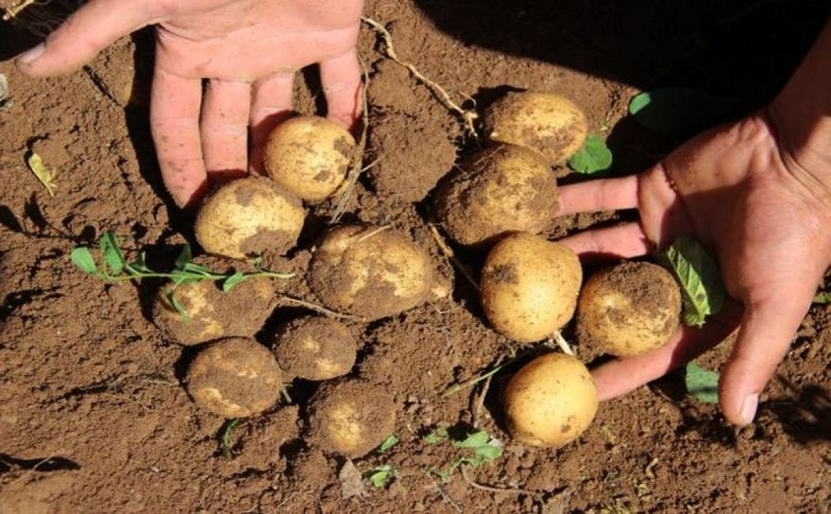 Turkish potato growers confronted with rising production costs