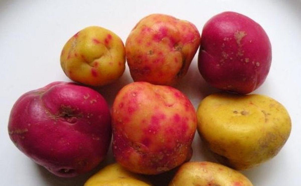 Ullucu import and cultivation poses biosecurity risk for potato: DEFRA advice