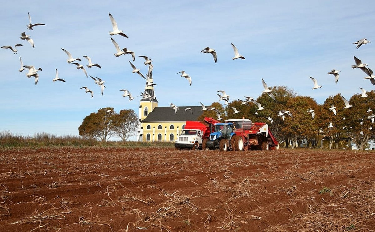 Potato Harvest Canada cut short by severe frost.
