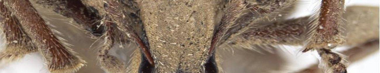 Andean Potato Weevil