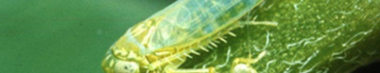 Potato Leafhoppers