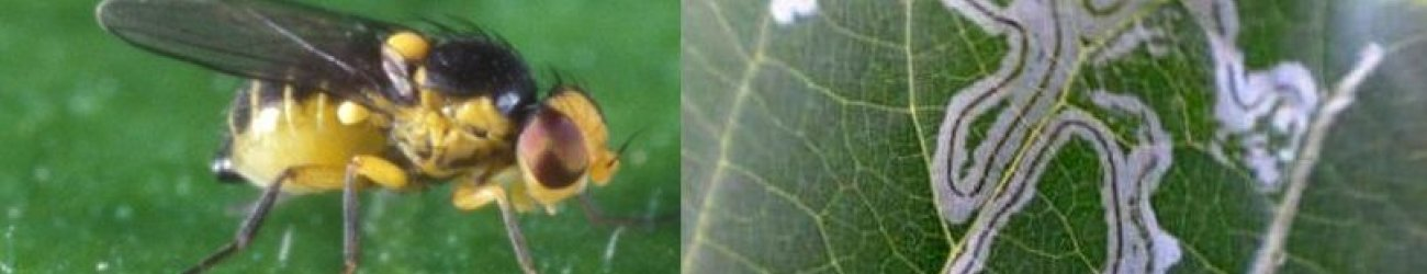 Pea Leafminer Fly