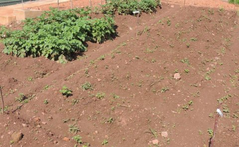 Uganda field trial shows extreme resistance to late blight by GM potato