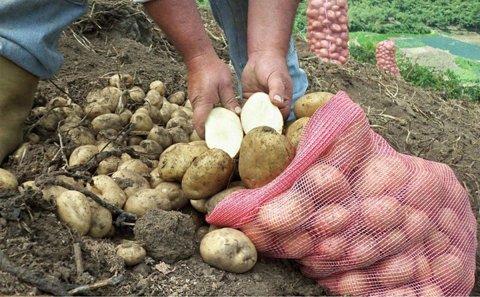 Colombia: Siembra de papa puede bajar hasta 10.000 hectáreas en 2021