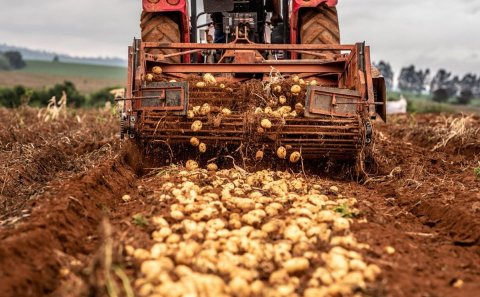 Brasil: Estiman un aumento del 3,5% en la cosecha de papa para 2021