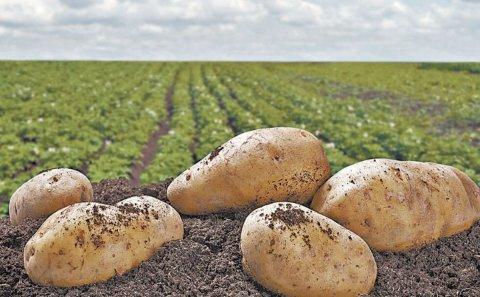 México: Hay buena producción pero bajo precio en la papa al inicio de las cosechas