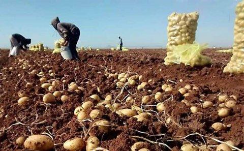 México: Inicia cosecha de papa en el Valle del Yaqui