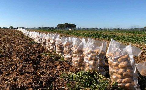 Incertidumbre en la patata, que tiene demanda la de lavado pero están atascadas las de saco.