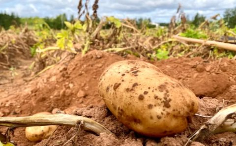 Summer drought still impacting potato farmers Prince Edward Island