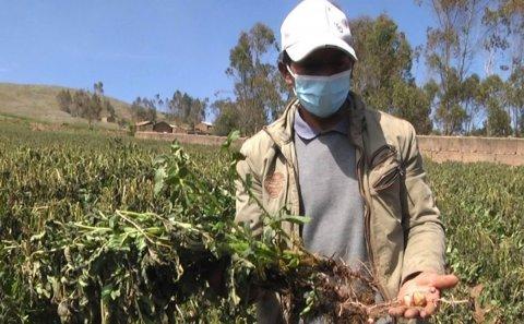 Perú: Más de 800 hectáreas de cultivos de papa afectadas por heladas en Huancavelica