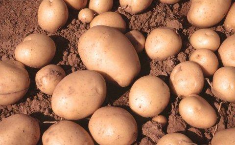 En Castilla y León se espera que la superficie de patata ocupe este año cerca de 18.000 hectáreas.